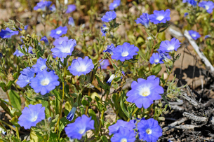 アタカマ砂漠の花 ススピロの写真素材 [FYI03226474]