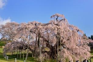 三春の滝桜の写真素材 [FYI03226531]