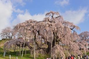 三春の滝桜の写真素材 [FYI03226532]