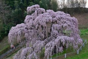 三春の滝桜の写真素材 [FYI03226543]