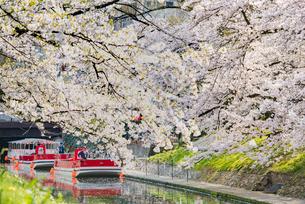 遊覧船が浮かぶ桜の季節の松川の写真素材 [FYI03226653]