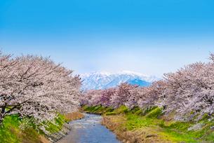 北アルプスと麗らかな舟川の桜並木の写真素材 [FYI03226657]