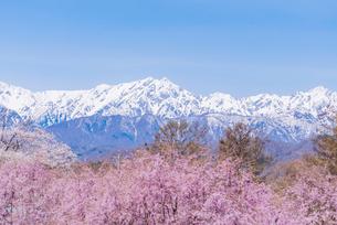 桜越しに北アルプスを臨むの写真素材 [FYI03226811]