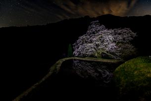 駒繋ぎの桜の写真素材 [FYI03226820]