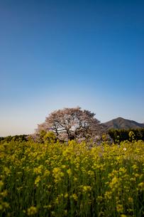 黒部のエドヒガン桜を菜の花越しにの写真素材 [FYI03226824]