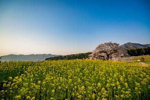 黒部のエドヒガン桜を菜の花越しにの写真素材 [FYI03226826]