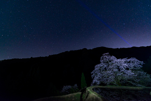 駒繋ぎの桜の写真素材 [FYI03226827]