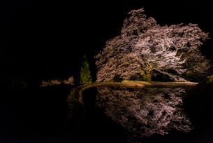 駒繋ぎの桜の写真素材 [FYI03226828]