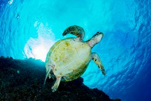アオウミガメの写真素材 [FYI03226853]