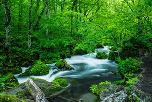 小雨がしたたる新緑の奥入瀬渓流 阿修羅の流れの写真素材 [FYI03226907]