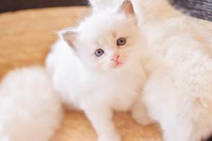 ラグドールの子猫の写真素材 [FYI03226926]