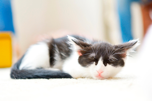 寝ている猫の写真素材 [FYI03226930]