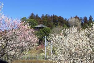 梅の花咲く偕楽園の写真素材 [FYI03227066]