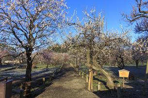 梅の花咲く偕楽園の写真素材 [FYI03227067]
