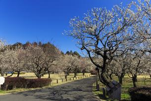 梅の花咲く偕楽園の写真素材 [FYI03227069]