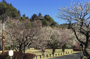 梅の花咲く偕楽園の写真素材 [FYI03227071]