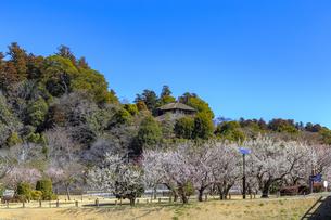 梅の花咲く偕楽園の写真素材 [FYI03227072]