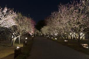 夜梅祭の写真素材 [FYI03227077]