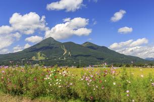 コスモスの花咲く磐梯山の写真素材 [FYI03227372]