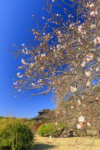 10月桜と好文亭の写真素材 [FYI03227543]