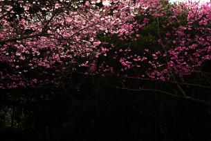 本部町 桜の写真素材 [FYI03227860]