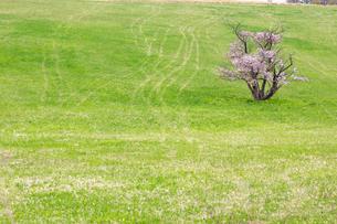 室蘭の一本桜の写真素材 [FYI03228270]