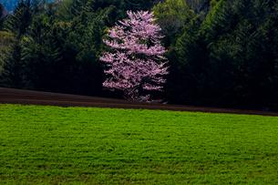 隠れ一本桜の写真素材 [FYI03228333]