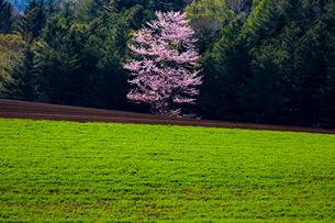 隠れ一本桜の写真素材 [FYI03228338]