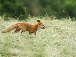 草を咥えて巣に急ぐキタキツネの写真素材 [FYI03228390]