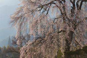 上の山の枝垂れ桜の写真素材 [FYI03228690]