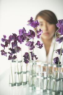紫のスウィートピーの写真素材 [FYI03229004]