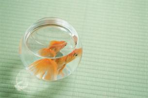 金魚鉢の金魚の写真素材 [FYI03229207]