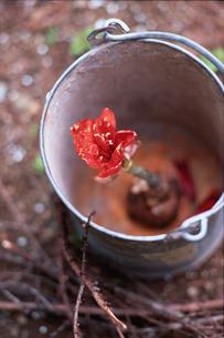 バケツの中の赤い花の写真素材 [FYI03229826]