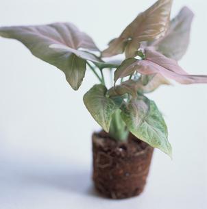 鉢から取り出された植木の写真素材 [FYI03230031]