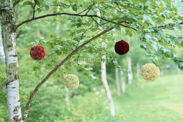 木に吊り下げられたスカビオサの花の写真素材 [FYI03230068]