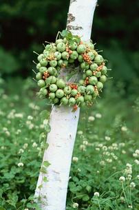 木の幹にくくりつけた青リンゴの写真素材 [FYI03230127]