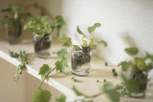 並んだ観葉植物の写真素材 [FYI03230152]