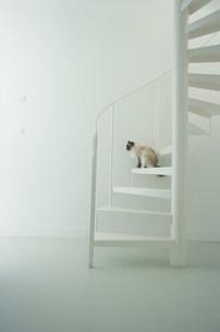 白い螺旋階段に座る猫(ラグドール)の写真素材 [FYI03230595]