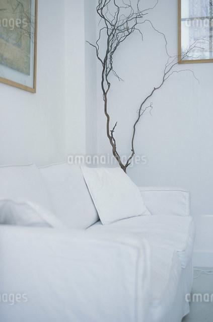 白いソファセットと植物(雲竜柳)を置いた部屋の写真素材 [FYI03230601]