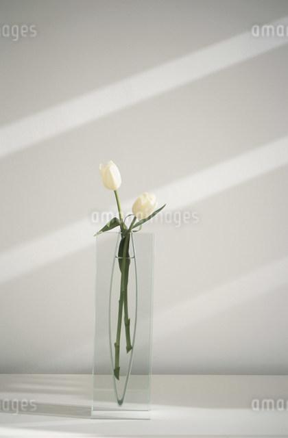 ガラスに花瓶に活けた二本の白いチューリップの写真素材 [FYI03230736]