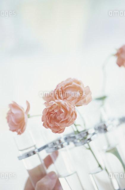 オレンジのバラの写真素材 [FYI03230782]