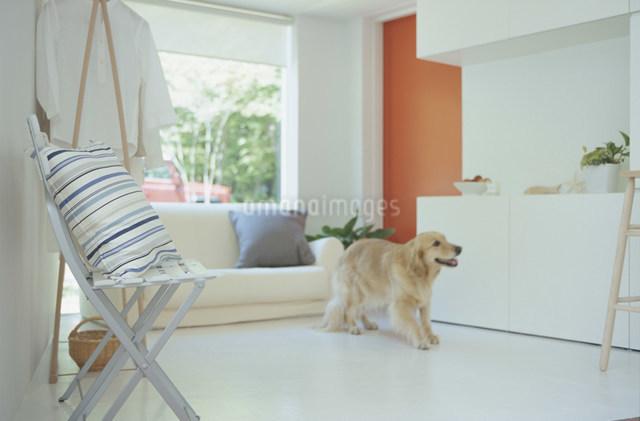 クッションをのせたスチールイスと犬の居るリビングルームの写真素材 [FYI03230821]