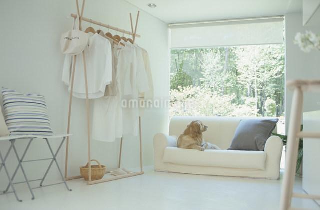 リビングのソファに座る犬(ゴールデンレトリバー)の写真素材 [FYI03230824]
