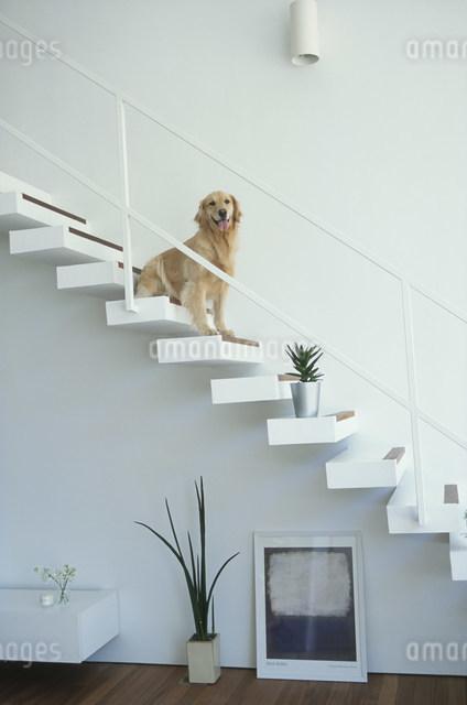 階段に座る犬(ゴールデンレトリバー)の写真素材 [FYI03230828]