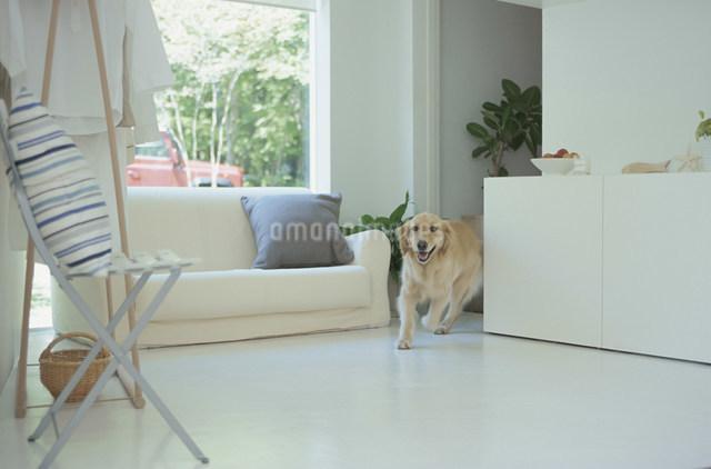リビングに入ってきた犬の写真素材 [FYI03230830]