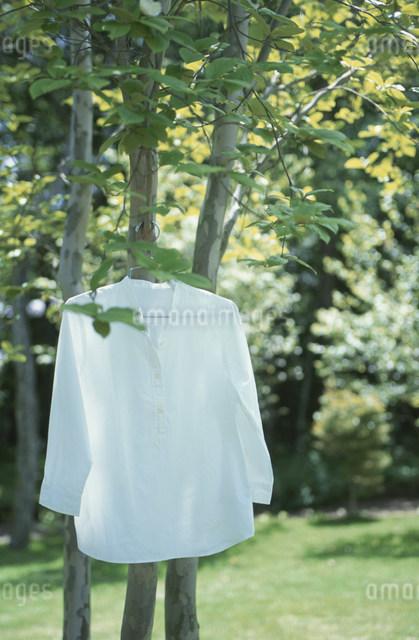 木の枝に掛けた白いシャツの写真素材 [FYI03230878]