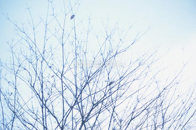空と木の枝の写真素材 [FYI03231089]
