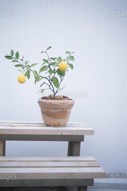 レモンの苗の写真素材 [FYI03231194]