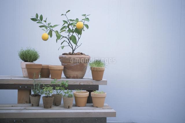 レモンとハーブの苗の写真素材 [FYI03231197]
