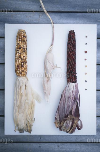 トウモロコシの写真素材 [FYI03231230]